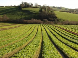 Crops,_Riverford_-_geograph.org.uk_-_1074475 grains